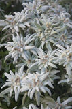 A Bunch of Edelweiss Mountain Flowers Stock Photography