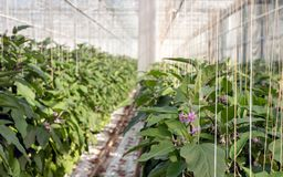 Blooming eggplant plants in a large greenhouse Royalty Free Stock Image