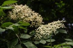 Blooming elder(Sambucus nigra) on the bush in the garden,  selec Royalty Free Stock Images