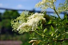 Blooming  elderberry Royalty Free Stock Photo