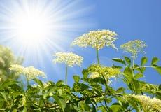 Blooming elderflower Royalty Free Stock Images
