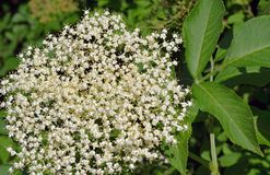 Elderflower, used especially in making wines, liqueurs, and teas Royalty Free Stock Photos