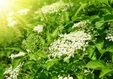 Blooming elderflower Royalty Free Stock Image