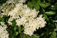 Blooming elderflower (Sambucus nigra) Royalty Free Stock Photo