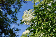 Blooming elderflower Stock Photo