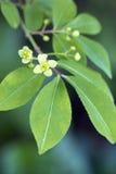Blooming Euonymus alatus plant Royalty Free Stock Photos