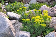 Blooming euphorbia cypress and other flowers in a small rockery in the summer garden.  royalty free stock photo