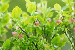 Blooming european blueberry, Vaccinium myrtillus plant Royalty Free Stock Images