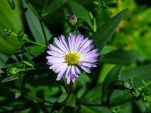 Blooming European Michaelmas Daisy or Aster amellus flower at flowerbed macro, selective focus, shallow DOF.  royalty free stock images