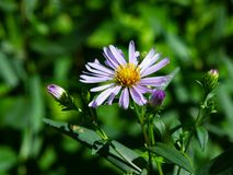 Blooming European Michaelmas Daisy or Aster amellus at flowerbed flower macro, selective focus, shallow DOF.  stock images