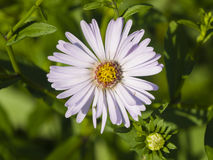 Blooming European Michaelmas Daisy, Aster amellus, at flowerbed, flower macro, selective focus, shallow DOF. Blooming European Michaelmas Daisy Aster amellus at royalty free stock images