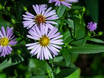 Blooming European Michaelmas Daisy or Aster amellus at flowerbed flowers macro, selective focus, shallow DOF.  royalty free stock photo