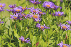 Blooming European Michaelmas Daisy Royalty Free Stock Photography