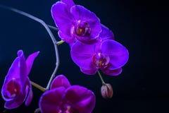 Blooming fantastic purple orchid flower, phalaenopsis on black b Royalty Free Stock Photos