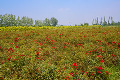 Blooming farmlands in sunny summer Royalty Free Stock Image
