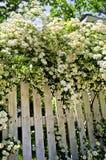 blooming fence shrubs white Στοκ Φωτογραφίες