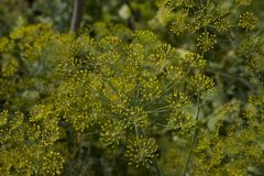 Blooming fennel Stock Photos