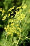 Blooming fennel Royalty Free Stock Images
