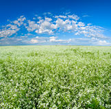 Blooming field Stock Photography