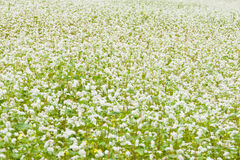 Blooming Field. Summer field of Blooming Grass Royalty Free Stock Photography