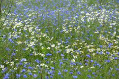 Blooming field with daisies and cornflowers. Wildflowers background royalty free stock photo