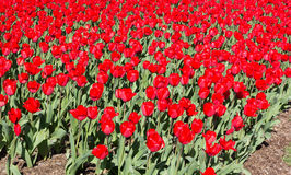 Blooming field of large red tulips. Stock Photo
