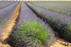 The blooming field of lavender Stock Photo