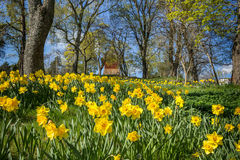 Blooming. Field of narcissus in front of a bell tower in Sigtuna, Sweden royalty free stock image