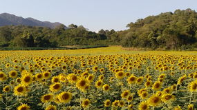 Free Blooming Field Of Sunflower Royalty Free Stock Photos - 50807318