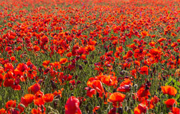 Blooming field of red poppies. Royalty Free Stock Photo