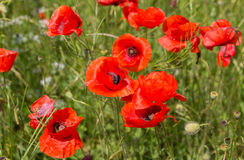 Blooming field of red poppies. Stock Image