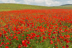 Blooming field of red poppies. Royalty Free Stock Image