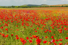 Blooming field of red poppies. Stock Images