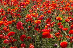 Blooming field of red poppies. Stock Photography