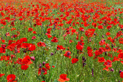 Blooming field of red poppies. Royalty Free Stock Images
