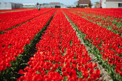 Blooming field of red tulips with a man figure Stock Photos
