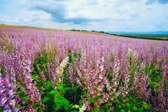Blooming field . Salvia pratensis. royalty free stock image