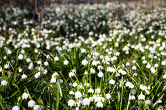 Blooming field of snowdrop flowers Stock Photography