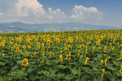 Blooming field of sunflowers on blue cloudy sky. Field of sunflowers and mountains in background,Transylvania,Romania Royalty Free Stock Image