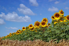 Blooming Field Of Sunflowers On Blue Sky Royalty Free Stock Photos