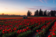 Blooming field of tulips. At twilight. Annual tulip festival Wooden Shoe in Woodburn, Oregon royalty free stock photo
