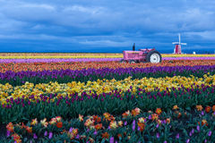 Blooming field of tulips. At twilight. Annual tulip festival Wooden Shoe in Woodburn, Oregon stock image