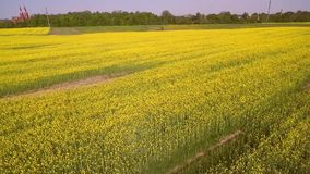 Blooming field, yellow stock video