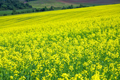 Blooming field of yellow rapeseed Royalty Free Stock Photo