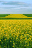 Blooming Fields. Yellow blooming fields as the background Royalty Free Stock Photos