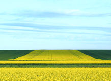 Blooming Fields. Yellow blooming fields as background Stock Photos