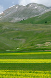 Blooming fields of Castelluccio di Norcia. Flowering high mountain national park mountains sibillini - Castelluccio di Norcia Royalty Free Stock Photography