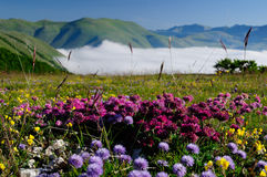 Blooming fields of Castelluccio di Norcia. Flowering high mountain national park mountains sibillini - Castelluccio di Norcia royalty free stock image
