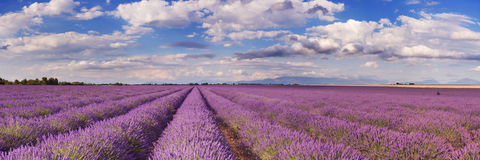 Blooming fields of lavender in the Provence, southern France Royalty Free Stock Photography