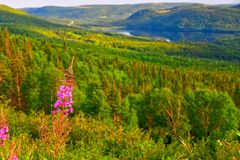 Blooming Fireweed Chamaenerion augustifolium Overlook, Western Newfoundland, Canada. Blooming Pink Fireweed Chamaenerion augustifolium along the Trans Canada royalty free stock images